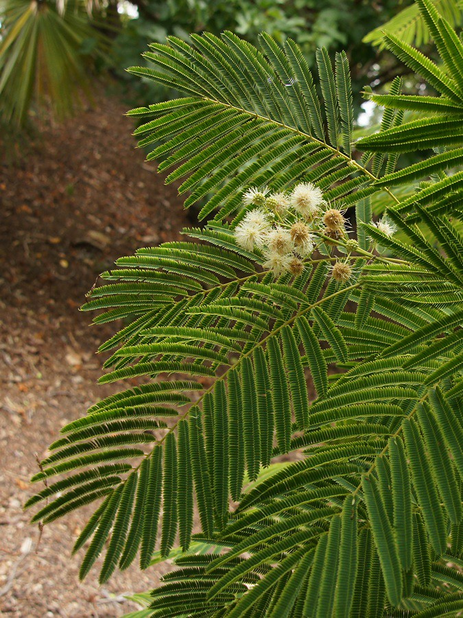 Anadenanthera colubrina | South American tree in Mt. Coot ...