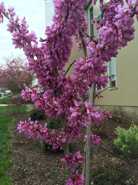 Bubble gum redbud in May