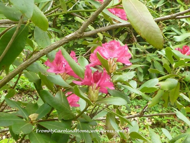 Rhododendron May 2015 -3