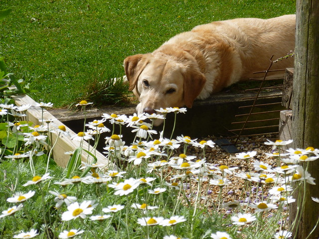 Tally and the daisies