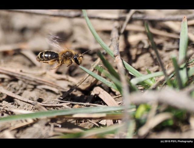 Flying Andrena