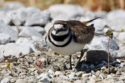 Female Killdeer