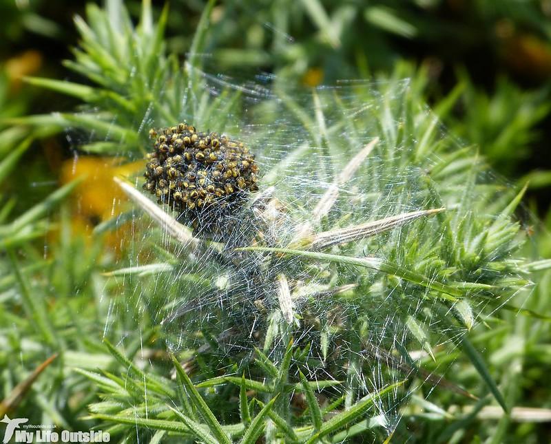 P1130397 - Spider Nest