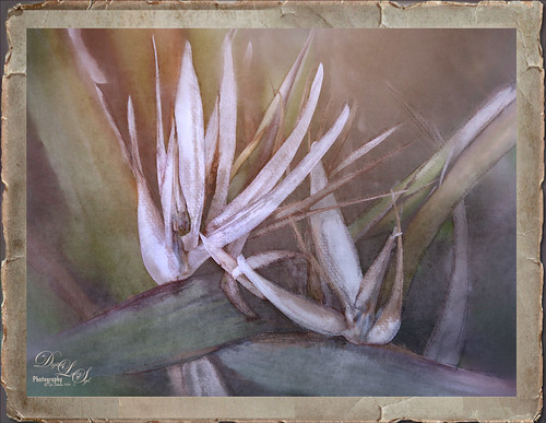 Image of a Bird of Paradise plant with white bloom