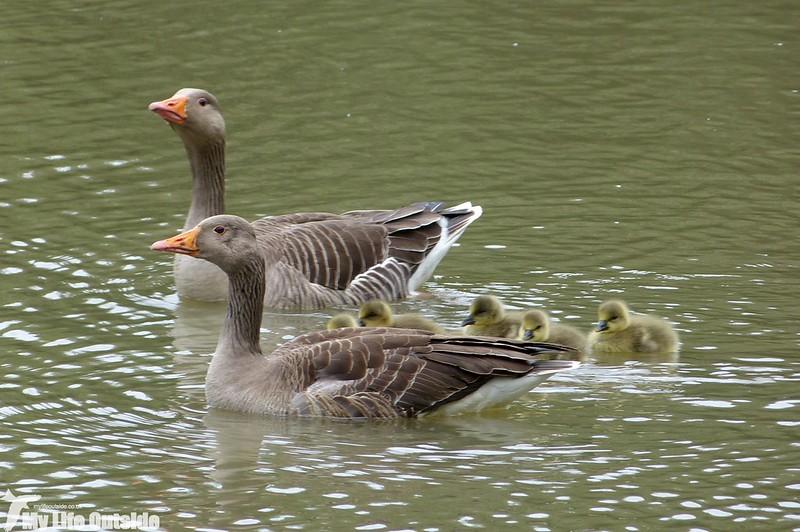 P1120741 - Greylag Goose