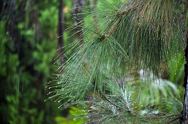 Rain on pine tree, Tenerife