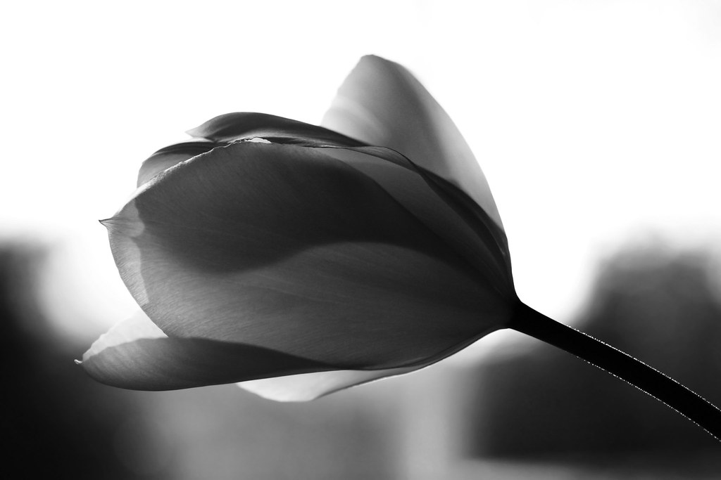 Black And White Tulip Photography Black Amp White Tulip For Dps