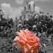 Rose Isolation