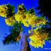 Sunlite Tree