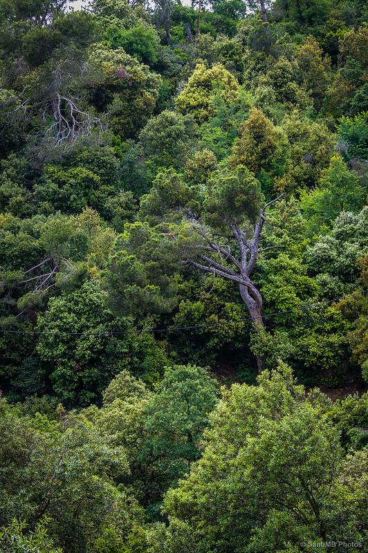 Viejos pinos asomando entre las encinas