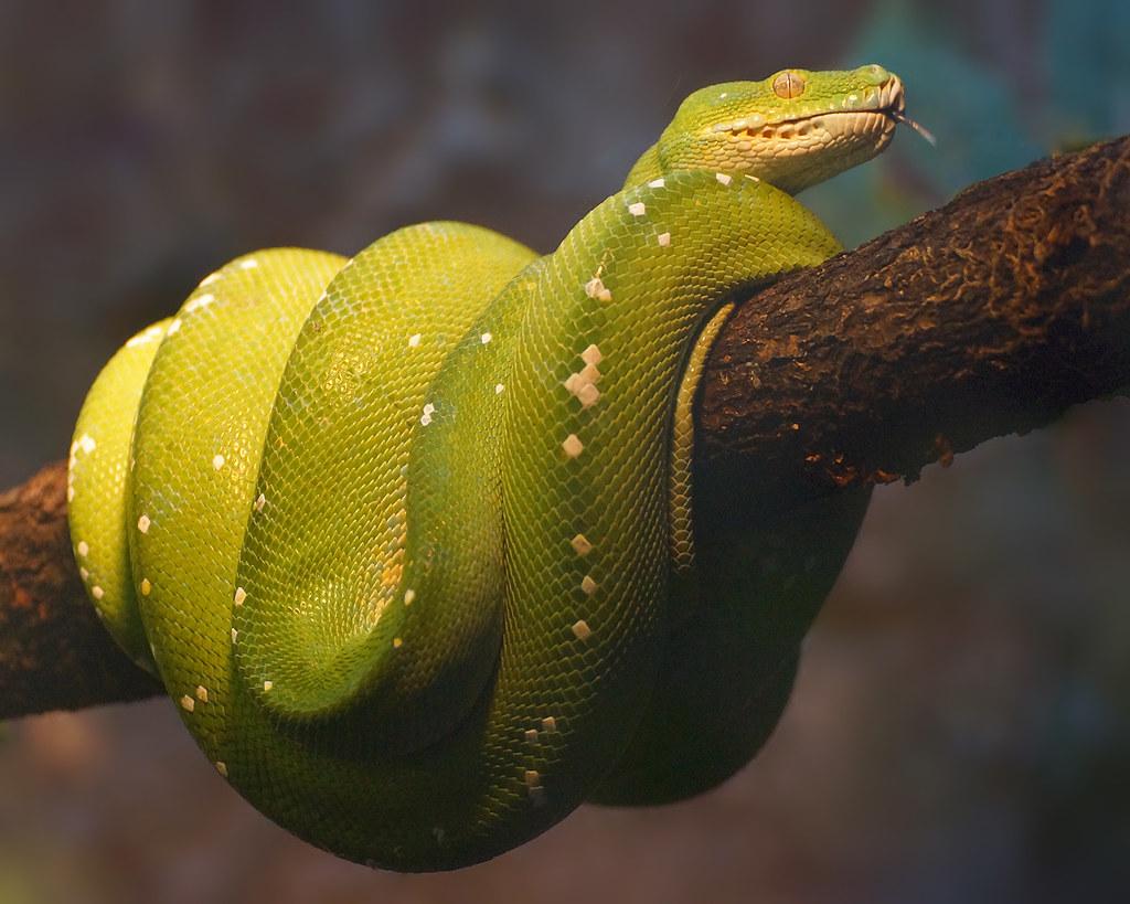 Green tree python | Th...