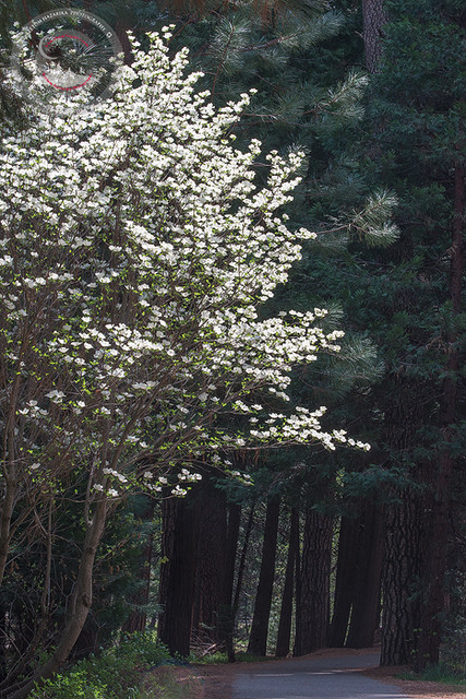 The Dogwood Alley