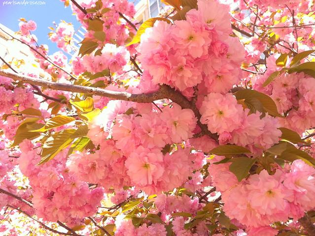 kwanzan_blossoms_web