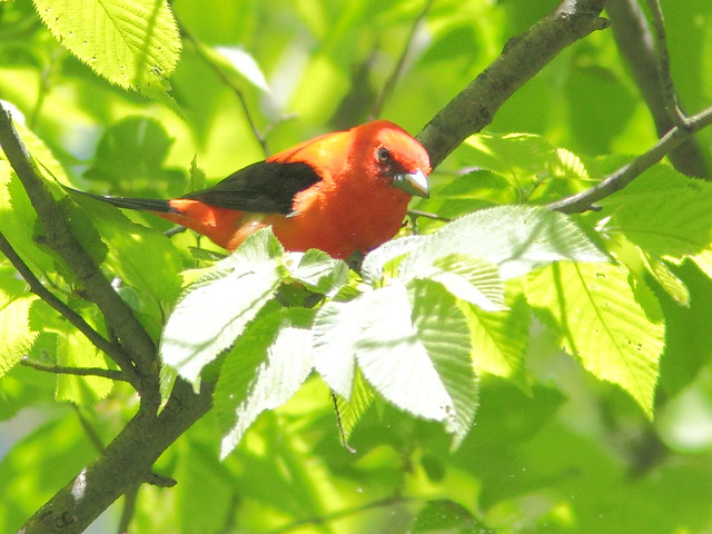 Scarlet Tanager 3-20150521