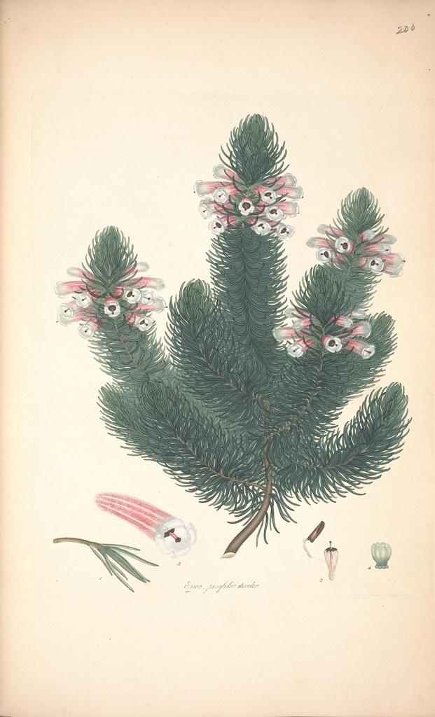 Erica pinifolia discolor