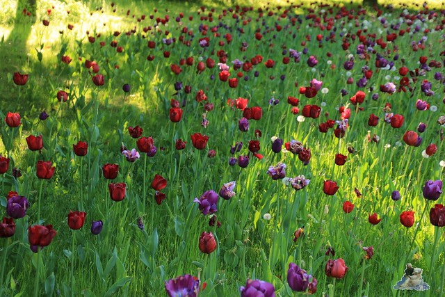Britzer Garten Tulipan 15.05.2015  149