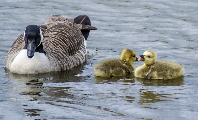 canada geese 459 (110)
