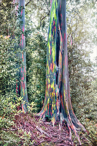 Image of a Rainbow Eucalyptus Tree in Maui, Hawaii