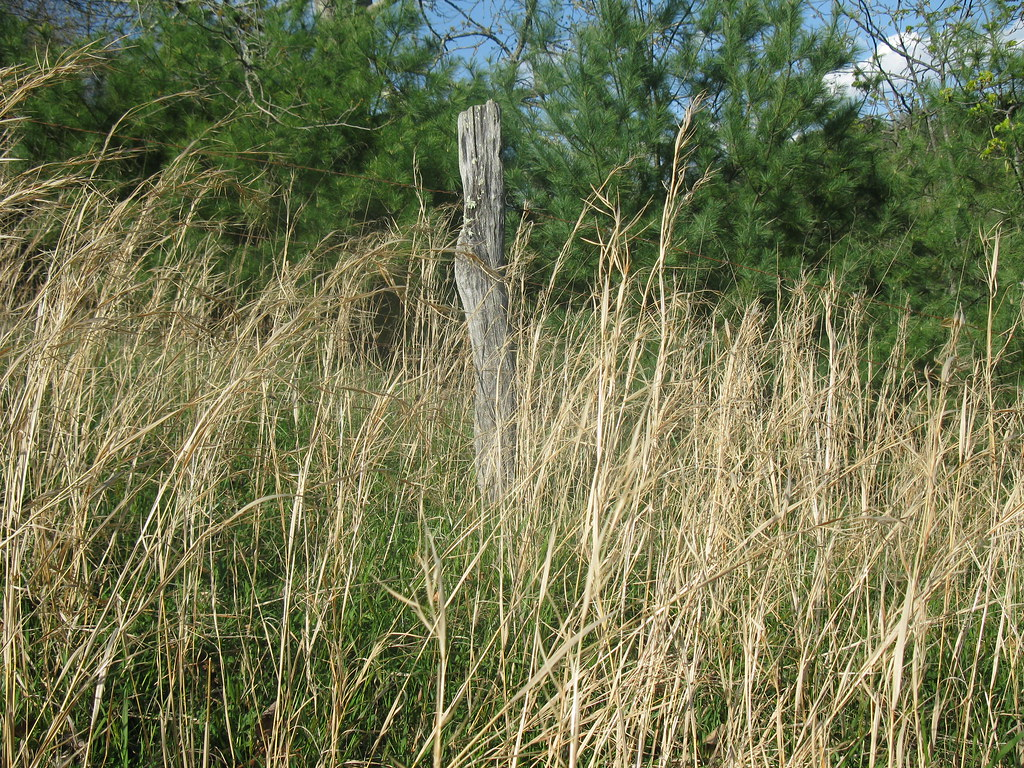 Rye grass an old fence post and yellow pine trees flickr