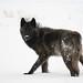 Wolf in Lamar Valley