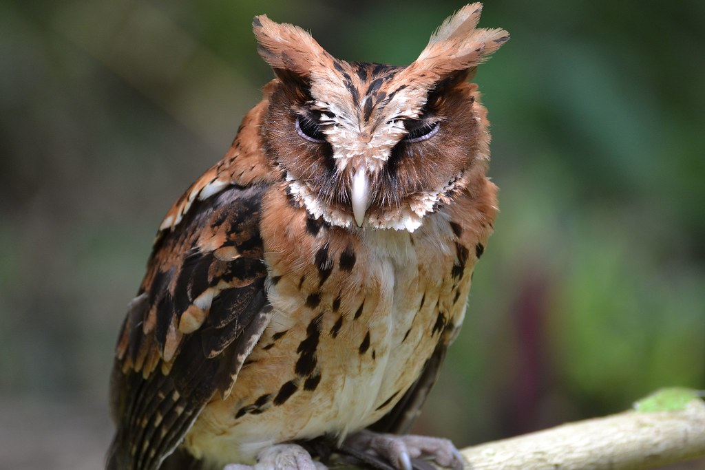 Giant Scops Owl A Final Look At Raptors And Birds Before
