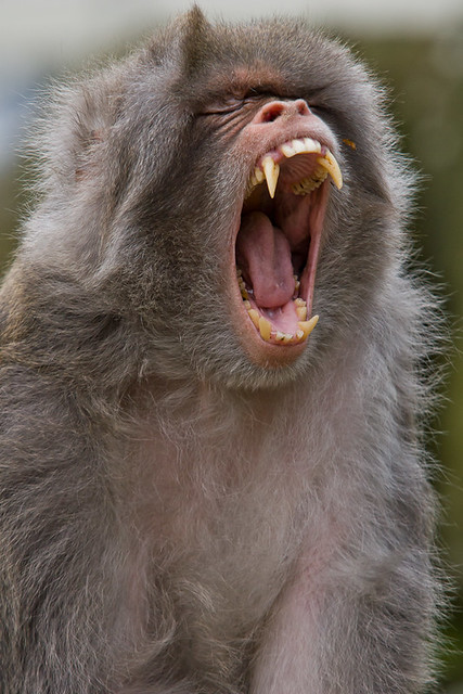 Angry baboon face - photo#11