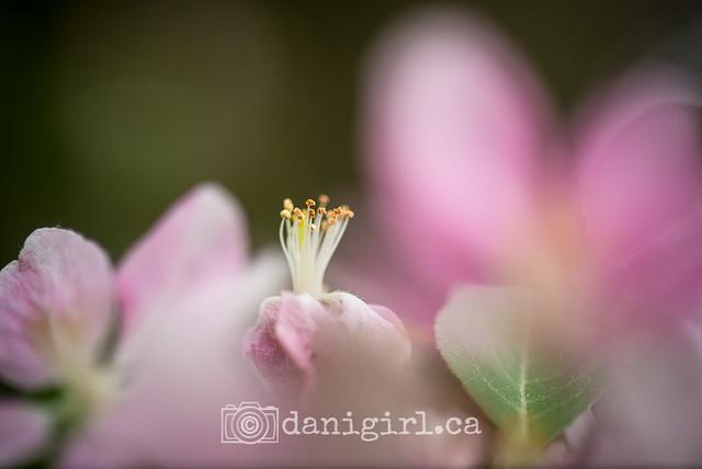 Apple blossom petals, stamen, stigma and style