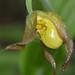 Yellow Ladyslipper - Cypripedium parviflorum