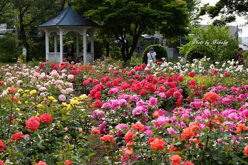 薔薇 -港の見える丘公園-