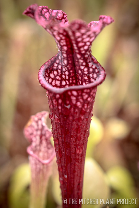 "Sarracenia ""Blood Moon"" x ('Leah Wilkerson' x 'Wilkerson's Red')"