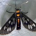 Tiger Moth (Eressa confinis)