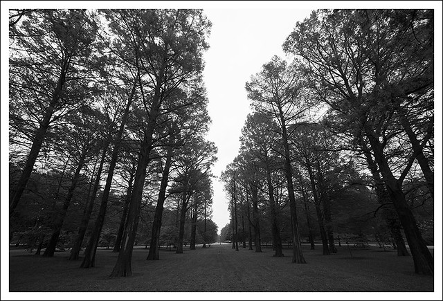 Pines, Tower Grove Park