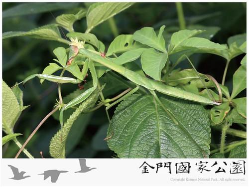 中華大螳螂-02
