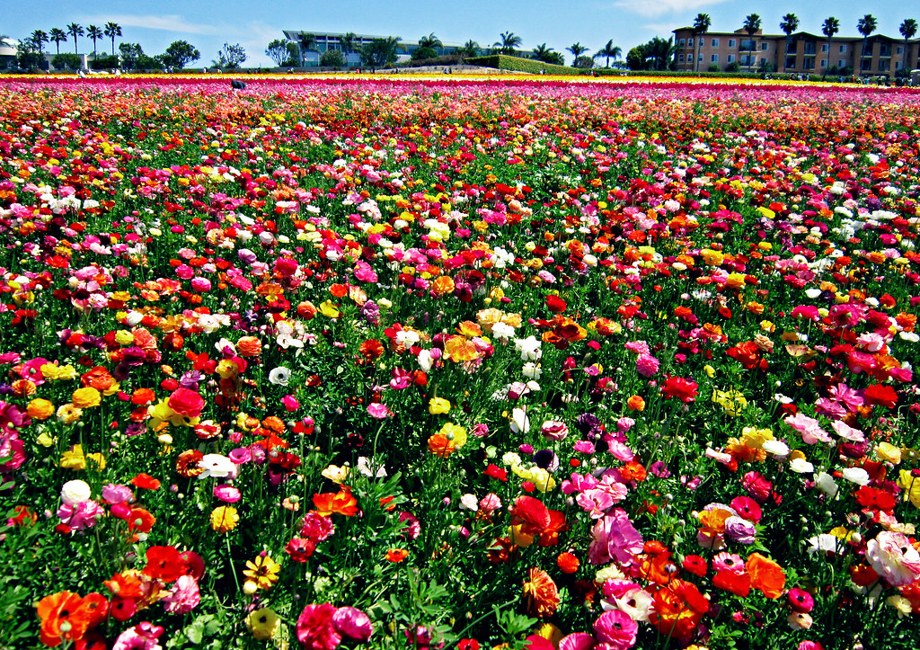 Colorful Flower Fields Of Carlsbad | Shot Taken At The Floweu2026 | Flickr