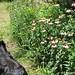 (26) Blooming echinacea - FarmgirlFare.com