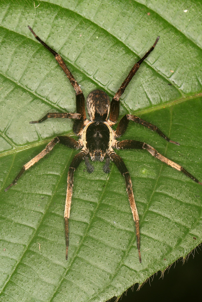 Amazon Spider   Santa Cruz Forest Reserve, in the Peruvian ... - photo#32