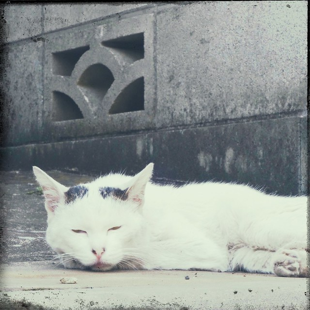 Lazy white cat