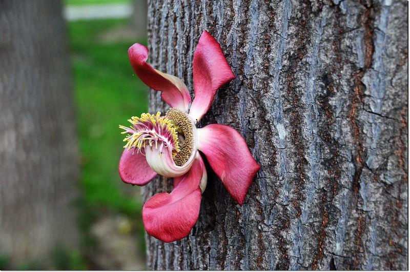 砲彈樹的花 8