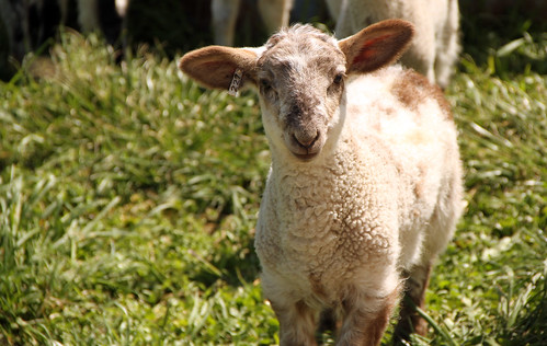 Crossbred ewe lamb | by baalands