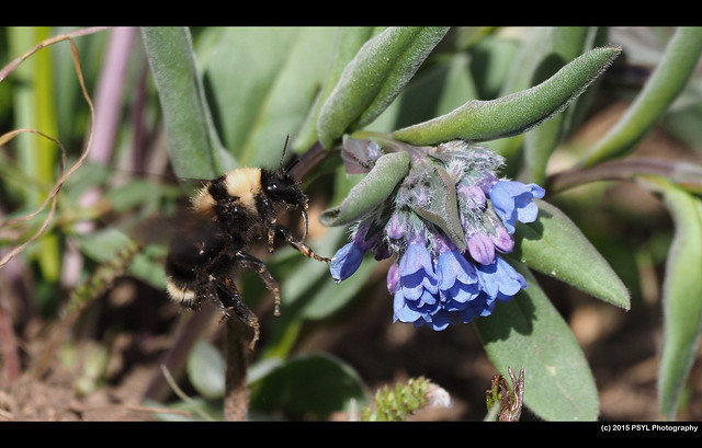 Flying Bombus californicus visiting Mertensia fusiformis