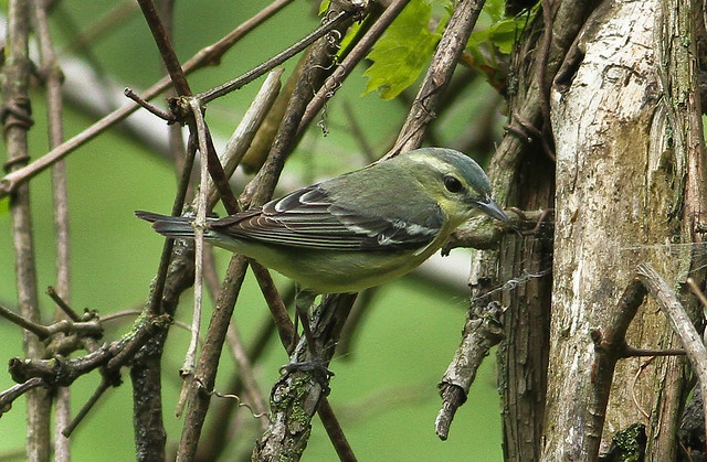 Cerulean Warbler (3) 5-16-15