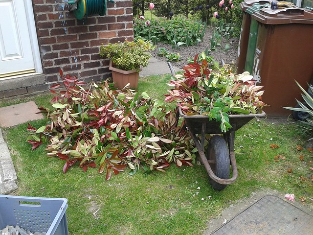 The cuttings from the Photinia... More than I thought!