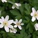 Vernal flora #2