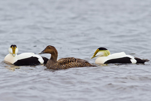 Common Eiders | by Mike C Thompson