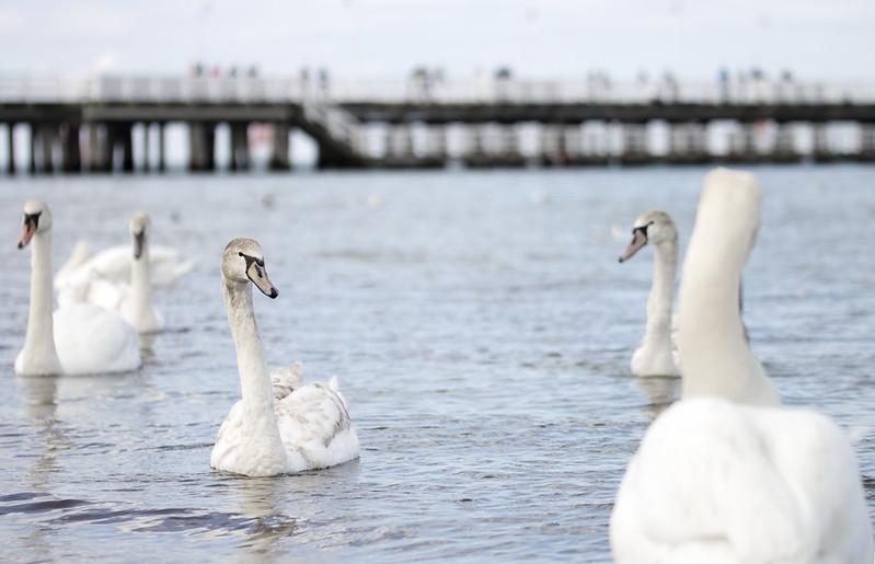 White swans near Molo - Sopot