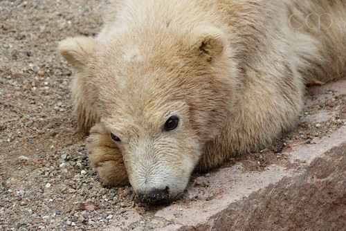 Sleepy little bear...
