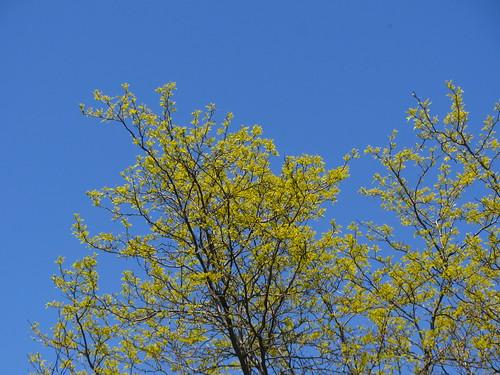 locust trees just beginning