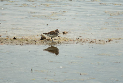 Little Stint, Broom GP, 24th May 2015