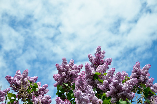 Lilacs in the sky