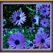 Purple flowers. Flores azules.